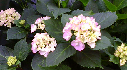 紫陽花?品種わからず。