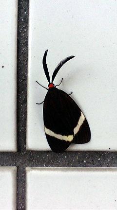ホタルガ 学名:Pidorus glaucopis  鱗翅目マダラガ科