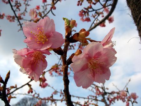 河津桜って花びらの色が濃いですね。 幹も櫻皮細工の様にキレイに輝いていました。