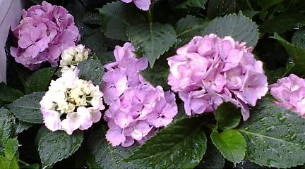 ハイドランジア品種は「ミセスクミコ」